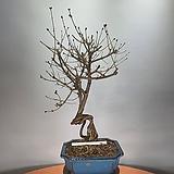 미스김라일락 Echeveria cv Peale von Nurnberg