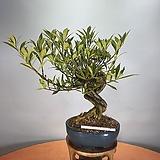 치자나무 
