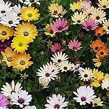 오스테오스펄멈(혼합) 꽃 모종 모음 10cm화분묘 꽃말 꽃집 반려식물