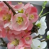 동양금 variegated