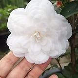 백설공주동백|sedum spathulifolium