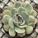 황홀한 연꽃 금_r18|Echeveria pulidonis