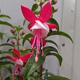 후쿠시아 [핑크 ]|