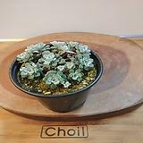 은설 세덤1포트(9cm)|Sedum spathulifolium