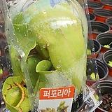 페포리아 식충식물|