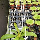 네펜더스 식충식물|