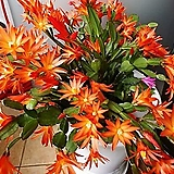 게발선인장.원종.오렌지주황색.홑꽃(꽃모양이 예뻐요).15cm.사이즈큰것.촉이좋은상품.상태굿.인기상품.