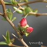 동양금 (명자나무) 사진촬영 2021년 3월3일 variegated