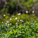 숲의요정 토종 남바람꽃 