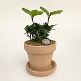 청산호수 이태리토분 공기정화식물 고급화분 인테리어 실내화초 |