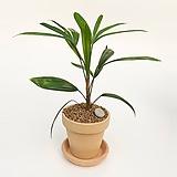 관음죽 이태리토분 공기정화식물 고급화분 인테리어 실내화초 |