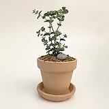 유칼립투스 이태리토분 공기정화식물 고급화분 인테리어 실내화초 |