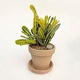 바나나크로톤 이태리토분 공기정화식물 고급화분 인테리어 실내화초 |