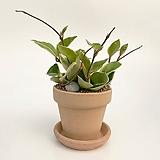 꽃피는 호야 이태리토분 공기정화식물 고급화분 인테리어 실내화초 |