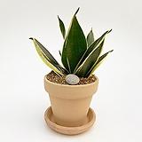 산세베리아 이태리토분 공기정화식물 고급화분 인테리어 실내화초|