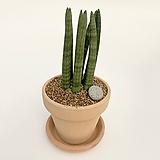 스투키 이태리토분 공기정화식물 고급화분 인테리어 실내화초|
