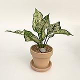 스노우사파이어 이태리토분 공기정화식물 고급화분 인테리어 실내화초|Echeveria Sapphire
