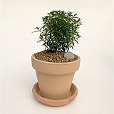 허브 머틀나무 이태리토분 공기정화식물 고급화분 인테리어 실내화초|
