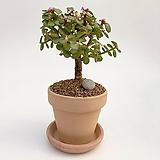 은행목 이태리토분 공기정화식물 고급화분 인테리어 실내화초|