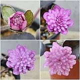 007. 일본 상록 노루귀 겹꽃 (분홍 만첩겹꽃) - 개화주|