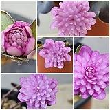 007. 2촉 일본 상록 노루귀 겹꽃 (분홍 만첩겹꽃) - 개화주|