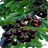 체리나무(좌등금),접목1년특묘 ,목하원예조경 variegated