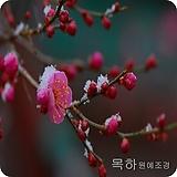 매실나무(설중매,홍매화),(겹꽃진분홍)접목1년특묘 ,목하원예조경 Echeveria Multicalulis  Ginmei Tennyo
