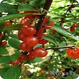 앵두나무(접목1년특묘) ,목하원예조경 