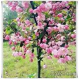 수사해당화(서부해당화),분홍꽃,개화주분 ,목하원예조경 