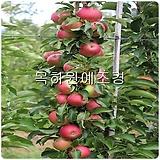 기둥사과나무(메이의눈동자),(접목2년특묘) ,목하원예조경 