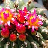 여여옥선인장-화분채배송|Haworthia truncata
