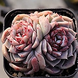 레드벨벳 군생 4-2466|Echeveria Red Velvet