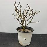 미스김라일락 (단품)|Echeveria cv Peale von Nurnberg