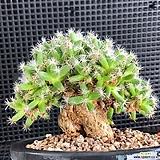 덴섬분재|Trichodiadema densum