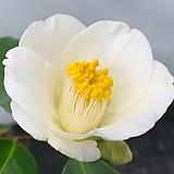 백동백 설주(17)|sedum spathulifolium