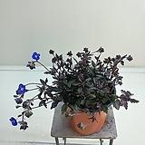 베로니카 꽃대가득|
