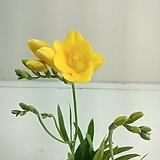 후리지아 노랑꽃|