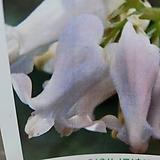버닝하트/흰색/성주풀|