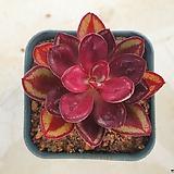 환엽 홍사|Echeveria nodulosa