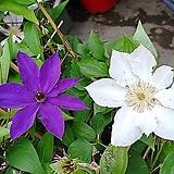 신종큰꽃으아리클레마티스 -보호종 대품  |