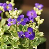 개화중인 무늬꽃다지|