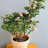 화사한 봄꽃 방울철쭉 기리시마, 전체높이 60cm 전후|