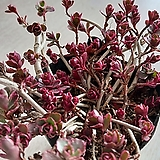 오색기린초