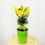 김규리플라워/ 순수한 꽃말을 가진 나리꽃 (백합) 노랑|