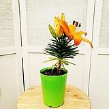 김규리플라워/ 명랑해보이는 주황 나리꽃 (백합)|