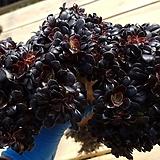 블랙캐시미어철화 오리지날(첫번째모주)-46|Aeonium Velour