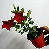 만데빌라 썬더볼 빨강색 특급 