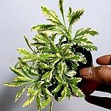 칼라 무늬 라벤더 