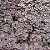 퍼플딜라이트 [랜덤발송] 0304-02|Graptopetalum Purple Delight