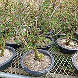 까치밥여름나무|